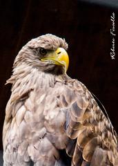 Fierezza2 (Roberto Fiscella) Tags: zoo nikon ali roberto animali uccello rapace predatore becco piume nikond3000 robertofiscella