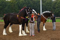 IMG_3619-k (Mandy Bramavi) Tags: show horse shire