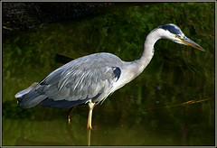 Ardea cinerea (* RICHARD M (Over 5 million views)) Tags: heron nature water birds reflections wildlife hunting ardeacinerea hunter ornithology southport merseyside ardeidae greyheron sefton wadingbirds heronhunting heskethpark huntingheron
