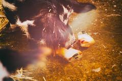 Pig Pops! (CarbonNYC [in SF!]) Tags: sf sanfrancisco california food ice zoo pig farm pigs bayarea ez cz pettingzoo childrenszoo sfzoo sanfranciscozoo outersunset familyfarm kune kunekune carbonnyc carbonsf explorationzone sanfranciscozoogardens