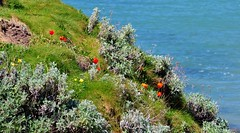 Coastal Flora (standhisround) Tags: flowers sea wild cliff coast flora tulips