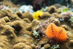 DSC_4161.jpg (d3_plus) Tags: sea sky fish beach coral japan scenery diving snorkeling  shizuoka   j1  izu     christmastreeworm skindiving minamiizu      nikon1 hirizo    nakagi  nikon1j1 1nikkor185mmf18  beachhirizo commoncoral misakafishingport