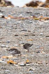 svalbard express 423 (GLRPhotography) Tags: bird wildlife 150 svalbard arctic 600 tamron spitsbergen purplesandpiper 150600 150600mm tamron150600mm