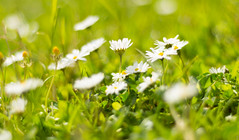DSC_0015 (Sebastiano Runci) Tags: flowers 50mm nikon fiori sicilia messina tono margherite d3100