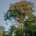 Ficus Tree - Peru