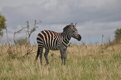 """It Looks Like Rain"" [Explored] (The Spirit of the World ( On and Off)) Tags: africa portrait tanzania stripes wildlife safari zebra lobo rainyseason eastafrica wildlifereserve wildlifeportrait zebraportrait animalsofafrica theserengeti rememberthatmomentlevel1 rememberthatmomentlevel2 rememberthatmomentlevel3"