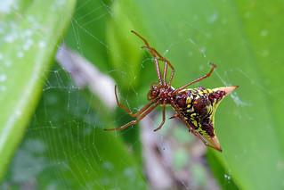 Orange Walk - Arrow-shaped Micrathena Spider
