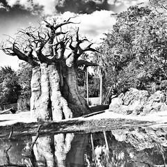 Upside down Tree #familyouting #jestergraphix #familytime #disney #treeoflife #family #florida #disneycruise #bnw #blackandwhite #b&w (jestergraphix) Tags: ifttt instagram upside down tree familyouting jestergraphix familytime disney treeoflife family florida disneycruise bnw blackandwhite bw