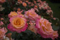 20160809_portland_0014 (fred.carter) Tags: northamerica usa flora flowerbud flowers fredcarter garden overcast plant rosebud roses travel travelling vacation weather