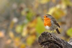 rouge gorge (frederic.laroche6) Tags: rouge gorge oiseau bird greoux provence nikon d7100 nikkor 200 500 f56 14 animalier