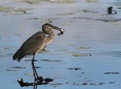 Great Blue Heron (juvenile) (Peter Simpson) Tags: greatblueheronjuvenile mud lake ottawa canon f4