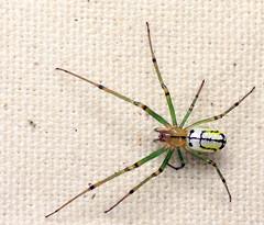 bug of the day - Arachtober (urtica) Tags: framinghamma framingham ma massachusetts usa night bugoftheday spider arachnid arachnida araneae tetragnathidae leucauge leucaugevenusta orchardorbweaver trichobothria