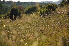 summer meadow (JoannaRB2009) Tags: summer meadow nature grass flora plants sunlit flowers landscape view olsztyn jura jurakrakowskoczstochowska polska poland