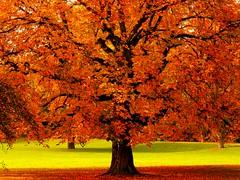 Autumn tree (sabrina. G) Tags: kastanienbaum herbst buntebltter sonne licht oktober