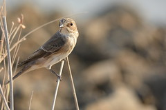 Flycatcher @ Al Qudra Oasis, Dubai, UAE (Ma3eN) Tags: flycatcher qudra oasis bird 2016 uae dubai