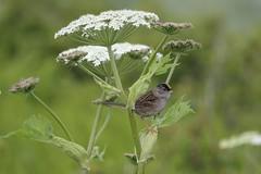 Golden-crowned Sparrow (USFWSAlaska) Tags: kodiak