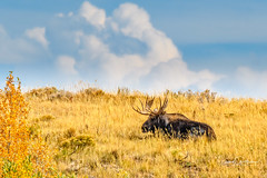 Lazy Days (craig goettsch) Tags: grandtetonnp fallcolors autumn wyoming moose bull animal mammal wildlife nature nikon d500 sunrays5