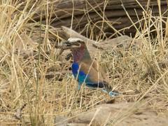 Lilac-Breasted Roller (Makgobokgobo) Tags: lilacbreastedroller roller bird masaimaranationalreserve masaimara mara kenya africa coraciascaudatus coracias