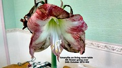 Amaryllis on living room table 4th flower going over (Close up) 24th October 2016 002 (D@viD_2.011) Tags: amaryllis living room table 4th flower going over 24th october 2016