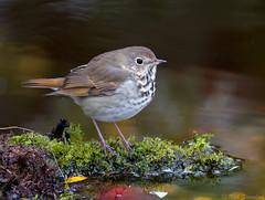 Hermit Thrush (Nick Saunders) Tags: hermitthrush hermit thrush catharus water drink bathing pond fall saskatchewan canada bird