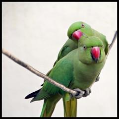 Cheeky City Parrots  ......  actually Parakeets :) (indianature13) Tags: roseringedparakeet citybird maharashtra mumbai india indianature nature wildlife bird 2016