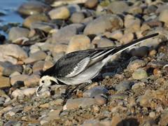 Pied wagtail (deannewildsmith) Tags: piedwagtail bartonmarina bird earthnaturelife
