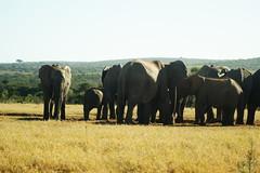 DSC03917 (Emily Hanley Photography) Tags: elephant elephants addo elephantpark nationalpark sa southafrica africa photography colour warthogs buffalo zebra waterhole rawimages raw nature naturalphotography animals animal
