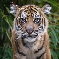Nelson, the Little Man in the Family (Penny Hyde) Tags: babyanimal bigcat cub safaripark sumatrantiger tiger flickrbigcats