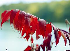 Redleafs (fadelemad324) Tags: fall canada leaf red nikon nikond7000 nik d7000 dslr nature