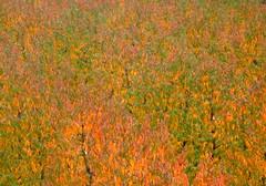 P1000001y (gzammarchi) Tags: italia paesaggio natura pianura campagna ravenna borgomontone pescheto foglia colore arancione monocrome