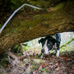playful Zac (grahamrobb888) Tags: nikond800 sigma20mmf18 birnamwood birnam zac pet dog fum prowl