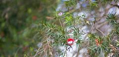 Caper White (Belenois java) butterflies, (adamhanley751) Tags: caper white belenois java bottle brush colmslie beach reserve brisbane queensland australia 85mm f18