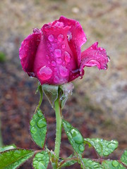The Rain Came (outdoorPDK) Tags: intrigue rose bud