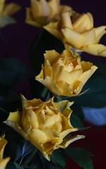 DSC_3183 (PeaTJay) Tags: nikond750 reading lowerearley berkshire macro micro closeups gardens indoors nature flora fauna plants flowers rose roses rosebuds