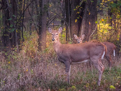 Breakfast Club (jmcpheeters) Tags: clintonlake deer wildlife morning light