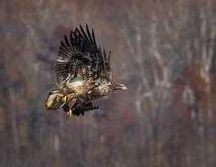 Twins (Mike Bader) Tags: conowingodam conowingoeagles conowingobaldeagles baldeagle eagles marylandwildlife marylandeagles marylandbirds raptor birdsofprey birdphotography avian avianphotography frolickingeagles
