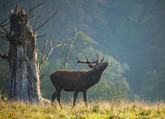 Rutting Red Deer (LindaShaws Images) Tags: nationaltrust deer reddeer calkeabbey calke outdoors tree glow earlymorning canon5d sigma150600sport rutting autumn october ruminant breath cold woodland