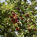 Kirschpflaume (Prunus cerasifera)