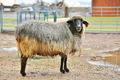 0U1A2779 NM Farm & Ranch Heritage Museum (colinLmiller) Tags: 2016 newmexico farmandranchheritagemuseum sheep merino debouilet churro