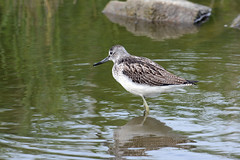 G.Claesson Common Greenshank / Gluttsnppa /Tringa nebularia (G.Claesson) Tags: bird vogel fgel vadare wader watvgel gettern varberg sverige sweden