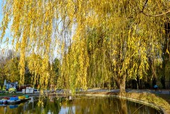 Autumn willow in the park DSC_0785 (Me now0) Tags: park artificiallake europe willow yellowleaves autumn afternoon nikond5300 basiclens 1855mmf3556        5300