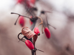 Redberry (gromin) Tags: red macro winter bokeh closeup dof depthoffield nature berries leaves autumn redmatrix