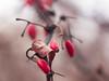 Redberry (gromin) Tags: red macro winter bokeh closeup dof depthoffield nature berries leaves autumn redmatrix