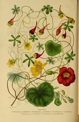 n345_w1150 (BioDivLibrary) Tags: botany horticulture societiesetc harvarduniversitybotanylibraries bhl:page=47249836 dc:identifier=httpbiodiversitylibraryorgpage47249836 flowers tropaeolum