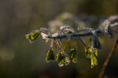 Frosty morning (Infomastern) Tags: cold frost kallt macro makro natur nature exif:model=canoneos760d geocountry camera:make=canon exif:isospeed=100 camera:model=canoneos760d exif:lens=ef100mmf28lmacroisusm exif:aperture=ƒ50 exif:focallength=100mm geostate geocity geolocation exif:make=canon