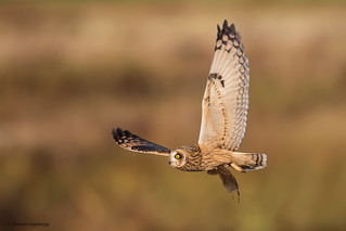 Short-eared Owl with Townsend's vole