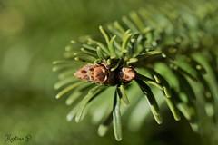 evergreen... (martinap.1) Tags: sigma 105mm macro green