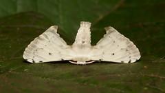 Bombycid Silkmoth (Penicillifera cf. apicalis, Bombycidae), male (John Horstman (itchydogimages, SINOBUG)) Tags: insect macro china yunnan itchydogimages sinobug moth lepidoptera silk silkmoth bombycidae white topf25
