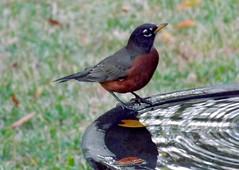 Thirsty (ChicaD58) Tags: dscf6395a robin americanrobin thirsty birdbath dripper backyard fall throughthewindow