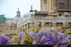 Wisteria In The Roman Forum (Joe Shlabotnik) Tags: forum italy italia april2016 wisteria roma temple rome ruins 2016 afsdxvrzoomnikkor18105mmf3556ged